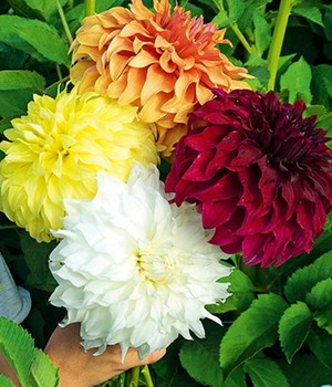 Dahlia mix 'Legendary Heroes'