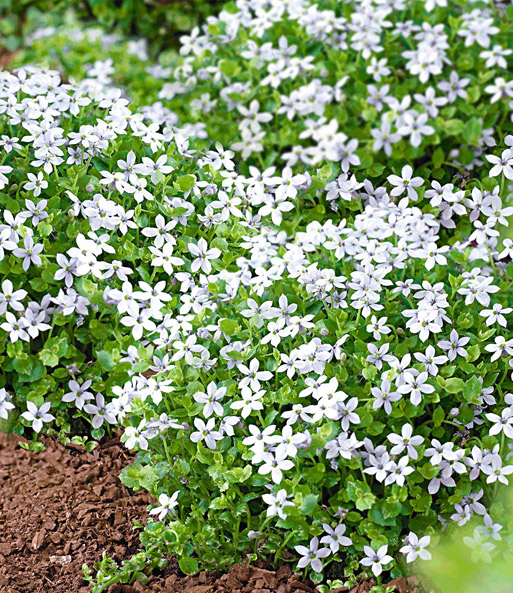 Isotoma 'White Splash'