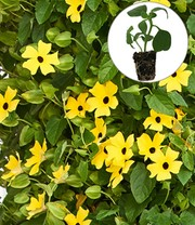 Thunbergia Arizona® 'Yellow Dark Eye'