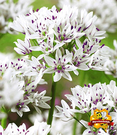 Allium 'Gracefull'