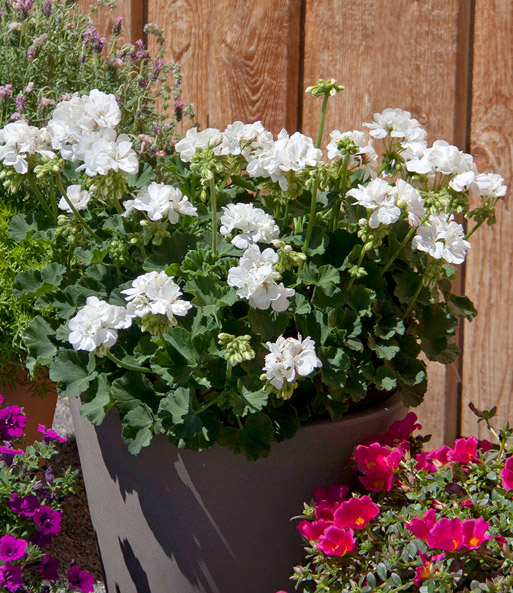 Geranium 'Moonlight® Sailing '