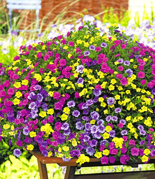 Calibrachoa trixi 39 petticoat 39 petunia bij baldur nederland - Calibrachoa trixi ...