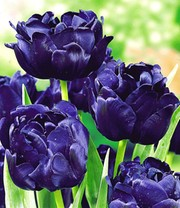 Tulp 'Blue Diamond'