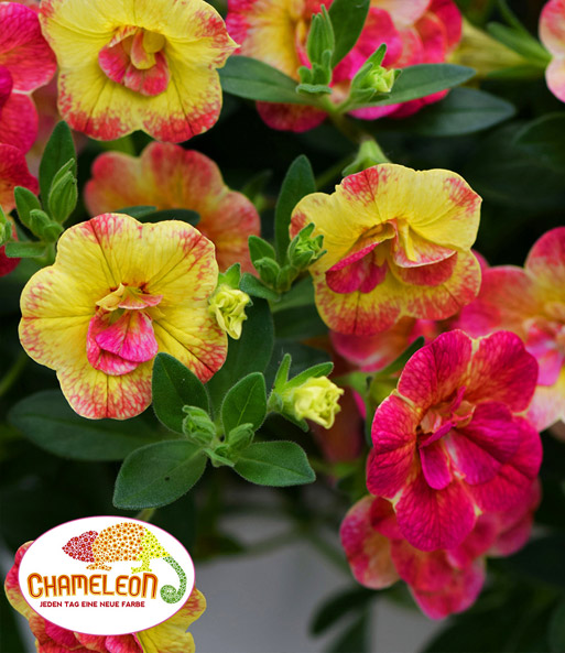 Calibrachoa 'Chameleon Double Pink-Yellow'