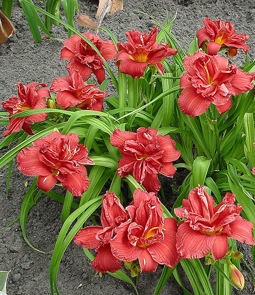 Daglelie 'Double Firecracker'