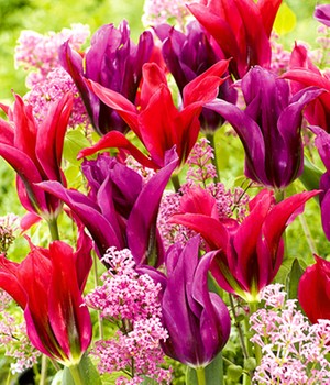 Tulpenmix 'Purple Doll & Minuet'