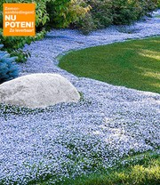 Isotoma 'Blue Foot'®