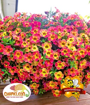 Calibrachoa 'Chameleon Atomic Orange'