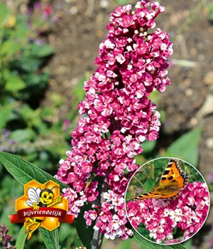 Buddleia 'Berries and Cream®'