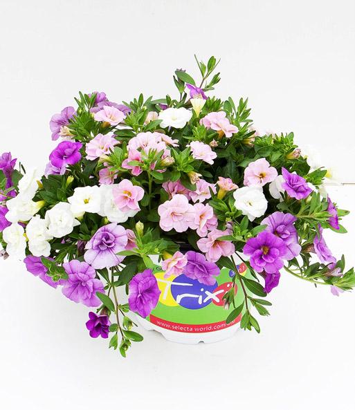 Calibrachoa trixi mix 39 pink petti 3 in een pot bij - Calibrachoa trixi ...