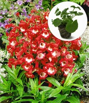 Penstemon 'Polaris Red'