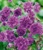 Winterharde geraniums 'Blue Birch Double®'