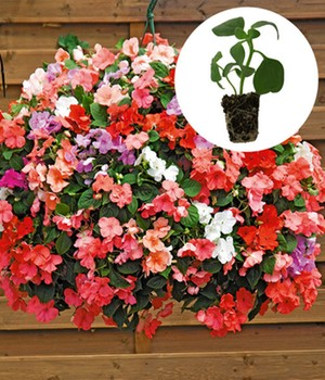 Impatiens-mix ''Beacon®'',24 jonge planten