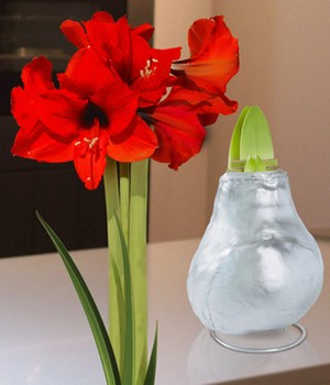 Wax Amaryllis 'Touch of Gloss' zilver