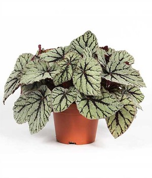 Begonia Magic Colours 'Fedor®'