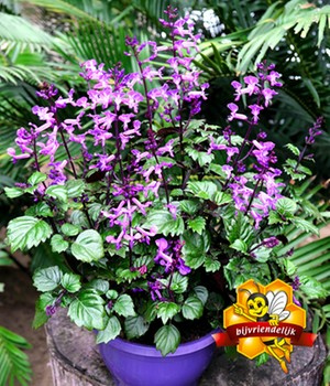 Plectranthus 'Magic Mona'
