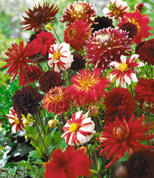 Dahlia Mix 'Red Blend'