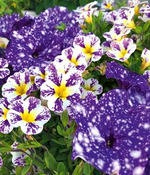 Petunia-mix 'Magic Nights'