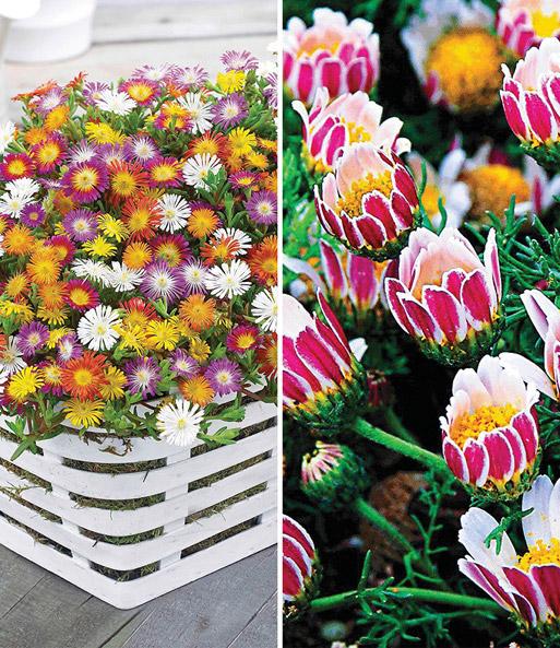 bloeiende bodembedekker collectie bodembedekkers bij baldur nederland. Black Bedroom Furniture Sets. Home Design Ideas