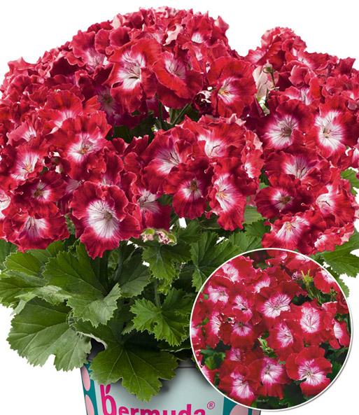 Pelargonium 'Bermuda®' PAC 'Dark Red'