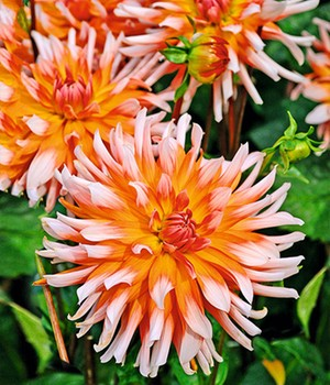 Dahlia 'Okapi's Sunset'