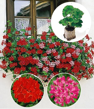 Collectie: Hanggeraniums 'Vuurrood & Roze'