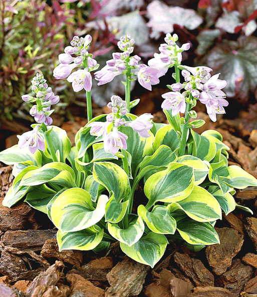 Hosta-Collectie