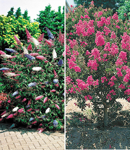 bloeiende struiken collectie bloeiende struiken bij. Black Bedroom Furniture Sets. Home Design Ideas