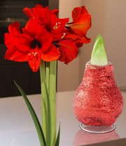Wassen Amaryllis 'Touch of magic' rood
