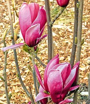 Magnolia 'March Till Frost'