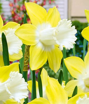 Narcis 'Teal'