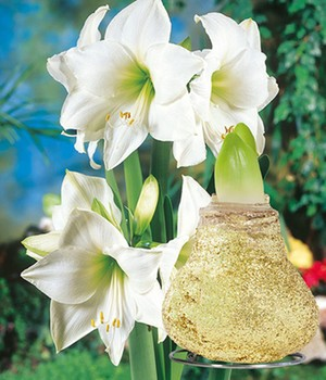 Witte Amaryllis met wax 'Touch of Magic' goud