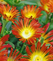 Winterharde ijsbloemen 'Fire Wonder'