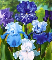 Iris-Mix 'Sea Breeze'