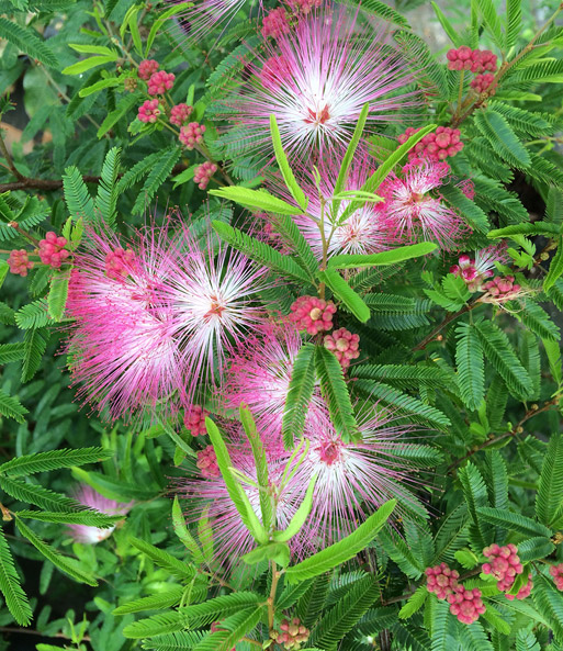 Calliandra 'Dixie Pink'