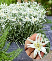 Edelweiss 'Blossom of Snow'