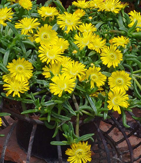 winterharte eisblume gelbe peridot 1a pflanzen baldur garten. Black Bedroom Furniture Sets. Home Design Ideas
