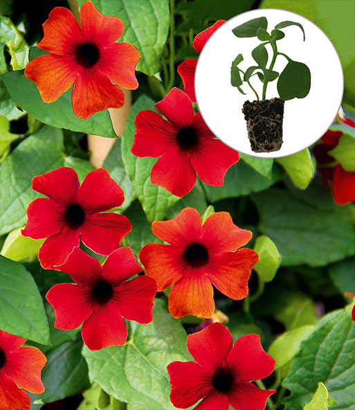 Thunbergia Arizona® 'Brownie'