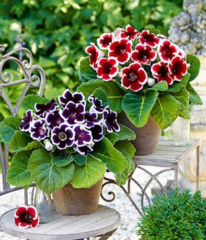 Gloxinia Mix 'Purple & Red'