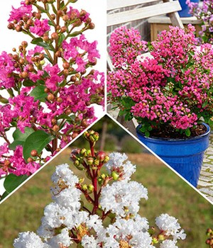 Lagerstroemia collectie