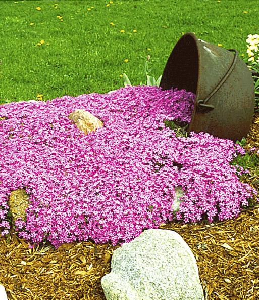 bodembedekker collectie roze bodembedekkers bij baldur. Black Bedroom Furniture Sets. Home Design Ideas