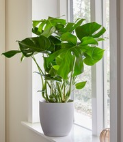 Gatenplant (Monstera deliciosa)