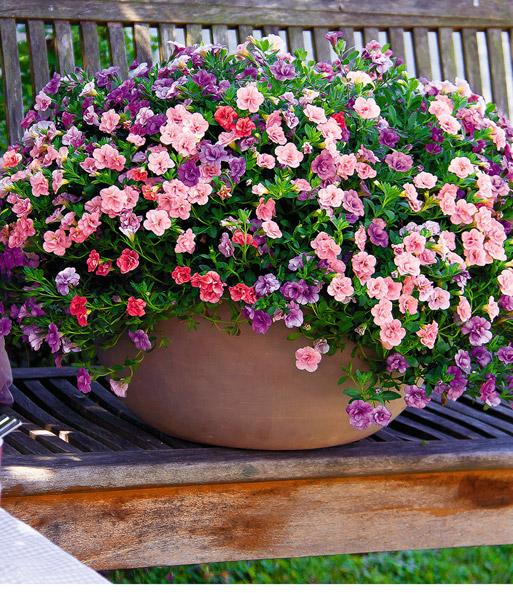 Calibrachoa trixi mix 39 pink petti petunia bij baldur - Calibrachoa trixi ...