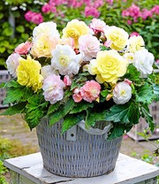 Begonia Mix 'Lemon Blossom'
