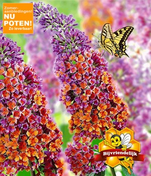 Buddleia 'Flower-Power®'