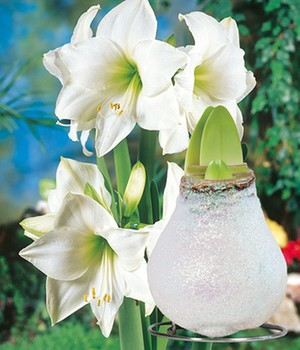 Witte Amaryllis met was 'Touch of Glamour' kristal-wit