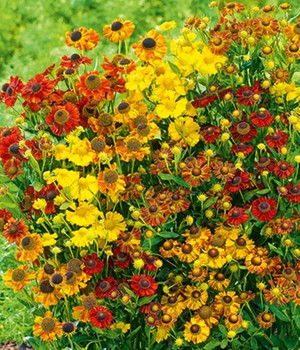 Helenium 'Indian Summer Mix'