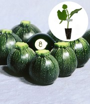 Geënte Courgette 'Eight Ball' F1