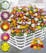 Winterharde ijsbloemen 'Wheels of Wonder®'