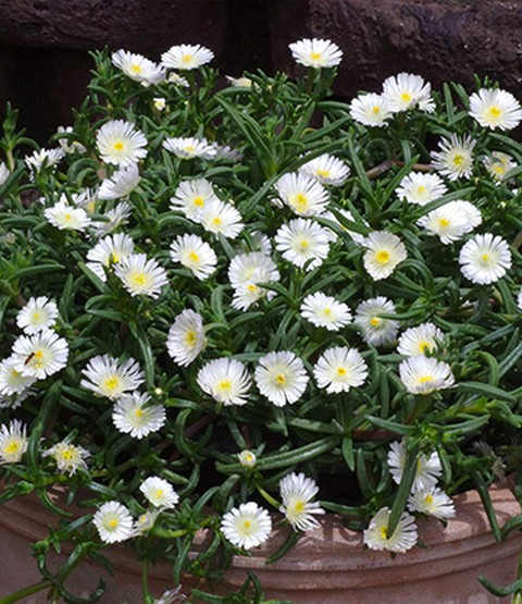 winterharde ijsbloemen 39 white wonde laag groeiende planten bij baldur nederland. Black Bedroom Furniture Sets. Home Design Ideas